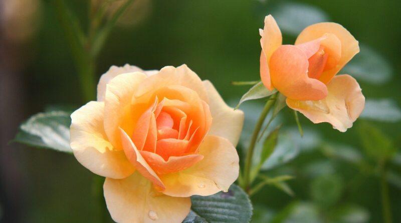 Mivel permetezzük a rózsát?